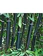Phyllostachys Nigra  Black Bamboo