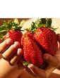 Giant Strawberry Colossus 6 Plug Plants