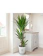 Yucca 3 Stem Plant 1.3m Tall