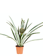 Pineapple 14cm Potted Plant