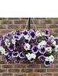 Parma Violet Plug Mix of 12