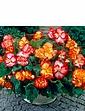 Begonia Marginata Mix 10 tubers