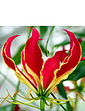 Flame Lily Gloriosa Rothschildiana Pack of 3