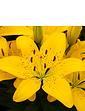 Longiflorum Asiatic L A Lily 25 Bulbs