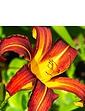 Hemerocallis Collection  5 Bare Root Plants