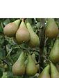 Duo Fruit Pear Tree 2 Varieties On One Tree