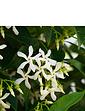 Trachelospermum Jasminoides Star Jasmine 1M