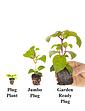 Jumbo American Fuchsia Collection 12 Plugs