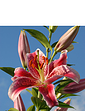 Stargazer Lily Pack of 10 Bulbs
