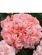 Geranium Rosebud Appleblossom 6 Plug Plants