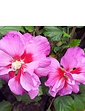 Hibiscus Walbertons Rose Moon 2/3 Branch 3L