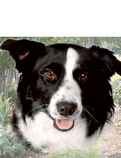 Border Collie Best of Breeds