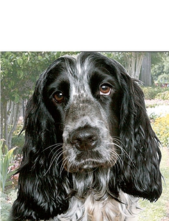 Cocker Spaniel Best of Breeds