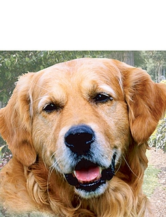 Golden Retriever Best of Breeds