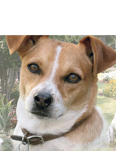Jack Russell Best of Breeds