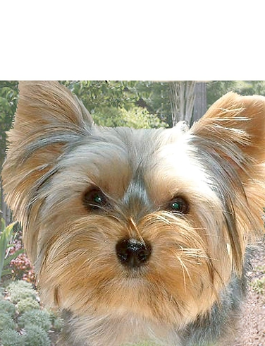 Yorkshire Terrier Best of Breeds