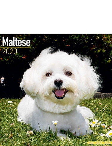 Maltese Best Of Breeds Calendar