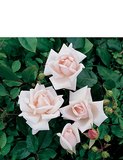 Climbing Rose New Dawn 3L Potted