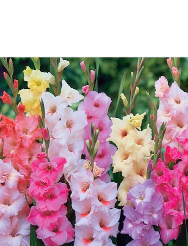 Gladioli Value Pack of 100 Bulbs