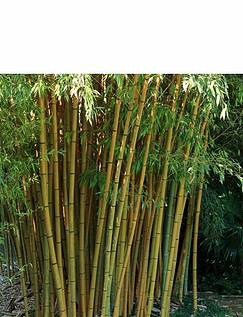 Phyllostachys Aureosulcata Aureocaulis Yellow Bamboo