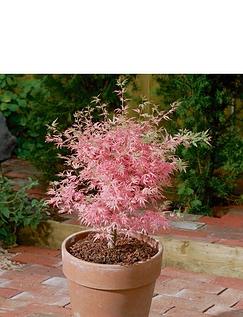 Acer Palmatum Taylor 3 Litre