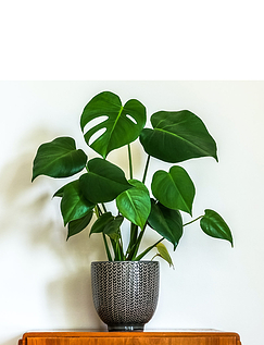 Monstera Deliciosa 4L 80 to 85cm