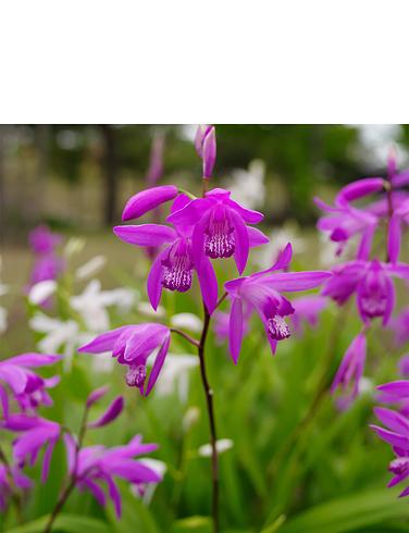 Bletilla Striata Hyacinth Orchid 3 Bulbs