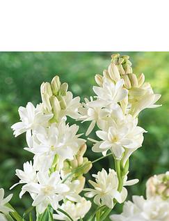 Polianthes Tuberosa (Tuberose) Pack of 10