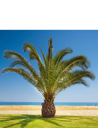 Phoenix Canariensis 1.2M Hardy Date Palm