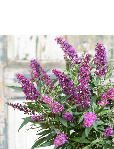 Buddleja Dav Butterfly Tower 2 x 9cm