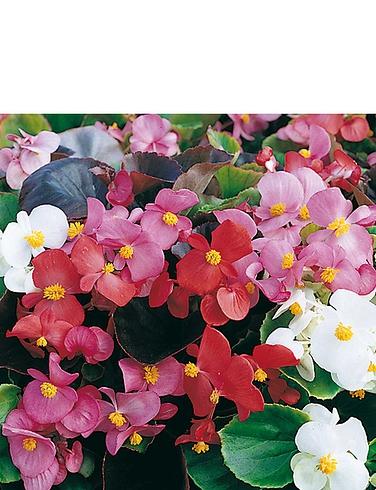 Begonia Organdy F1 Garden Ready Plants