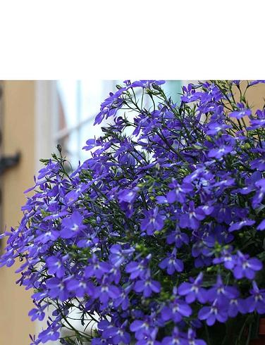 Lobelia Crystal Palace Blue Garden Ready