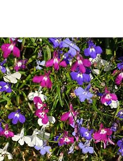 Lobelia Fountain Mix Garden Ready Plants
