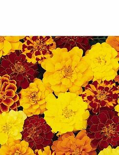 Marigold Durango Mix Garden Ready Plants