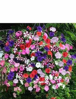 Petunia Easy Wave Ult Mix Garden Ready Plants