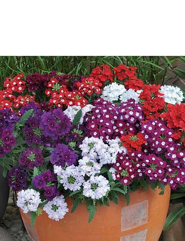 Verbena Quartz Mix Garden Ready Plants