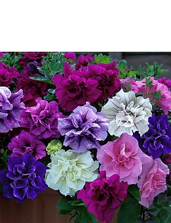Tumbelina Fragrant Collection 12 Plug Plants