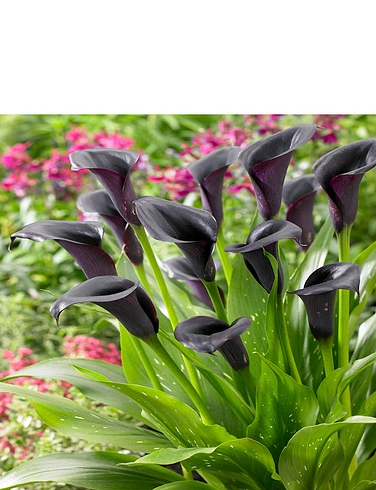 Zantedschia Cantor Black Calla Lily 3 Bulbs
