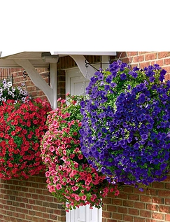 Surfinia Trailing Petunia Collection of 12