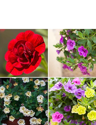 Double Mini Petunia 12 Plug Plants