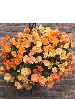 Begonia Apricot Fiery Shades Mix of 10 Tubers