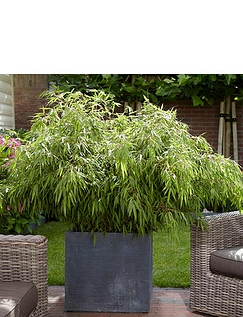 Pair of Fargesia Fountain Bamboos