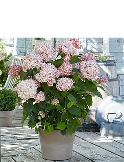 Hydrangea Arb Candybelle Bubblegum 12cm
