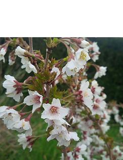 Prunus Incisa Kojo-No-Mai 3 x 9cm